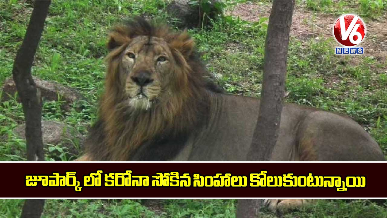 Corona-infected-lions-are-recovering-in-a-hyderabad-zoo_D2zJCNB0yx.jpg